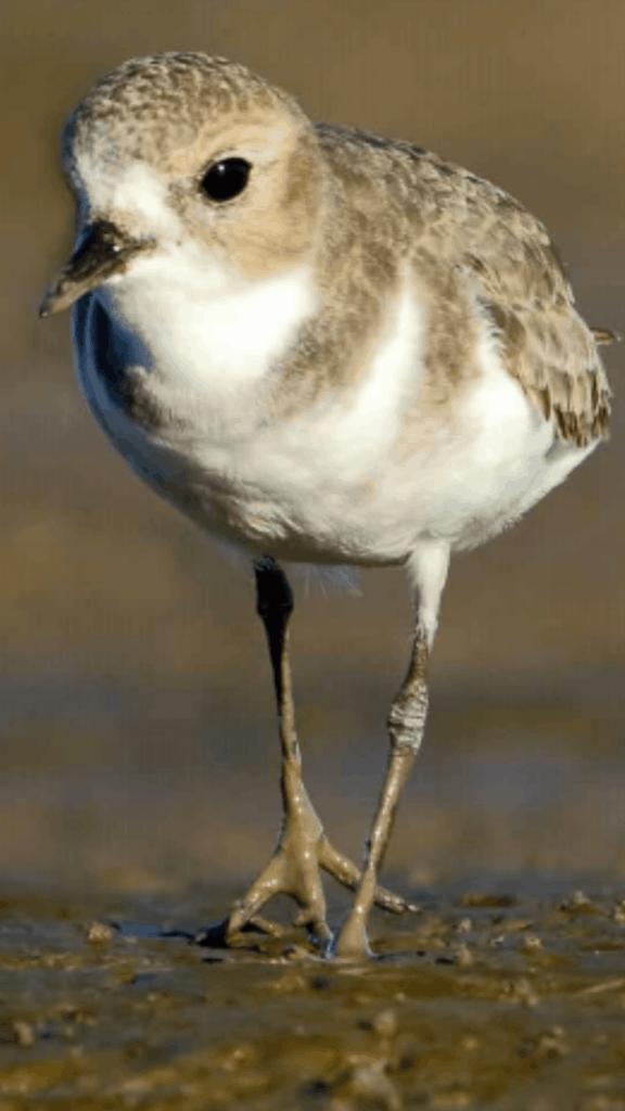 Argentina presenta un Plan Nacional para la conservación de las aves playeras, víctimas de drásticas disminuciones poblacionales en las últimas décadas