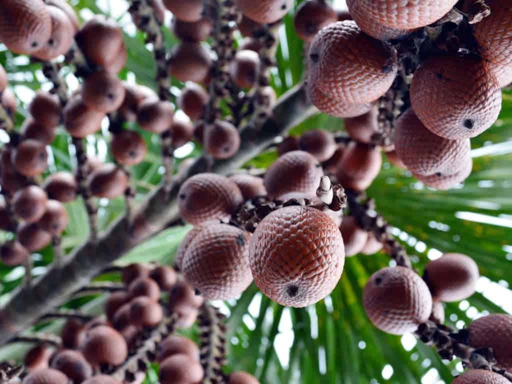 En el Amazonas existe un árbol mágico que alimenta al mundo y puedes ayudar a que planten 10.000 de ellos.
