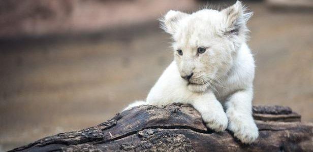 México: presentaron una pareja de cachorros de leones africanos blancos en el zoológico de Querétaro