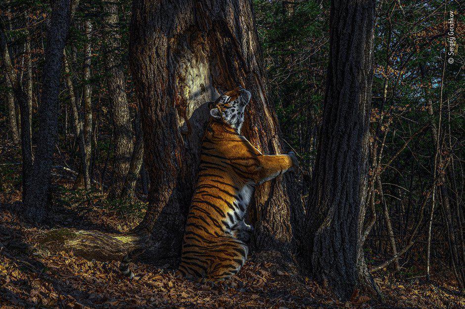 Una tigresa, un árbol y un abrazo: esta es la mejor fotografía de vida salvaje del 2020