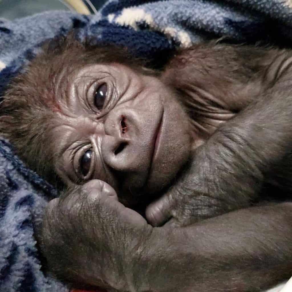 imagen bebé gorila bebe gorila 3
