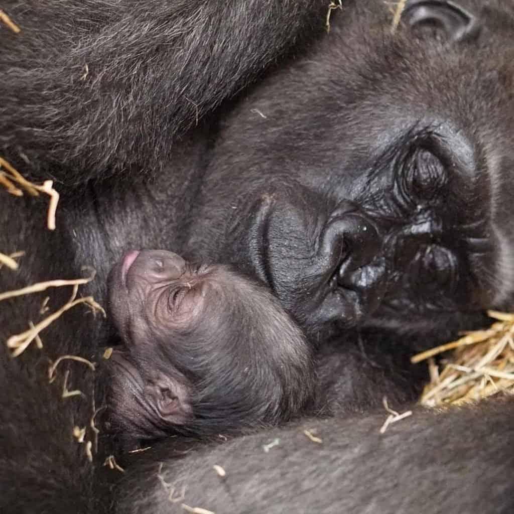 imagen bebé gorila bebe gorila 2