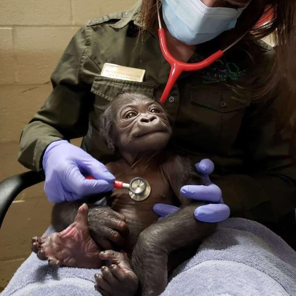 Boston celebra el nacimiento de su primer bebé gorila macho, una especie considerada en peligro de extinción