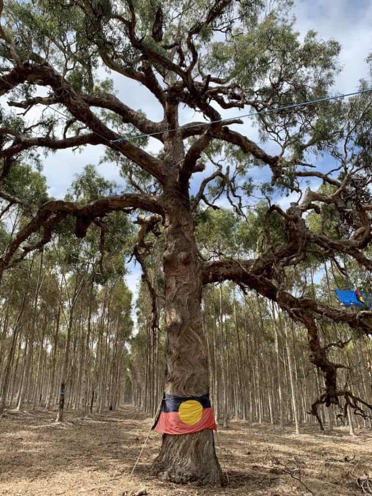 Polémica en Australia por la tala de un árbol culturalmente significativo de una comunidad indígena para construir una carretera