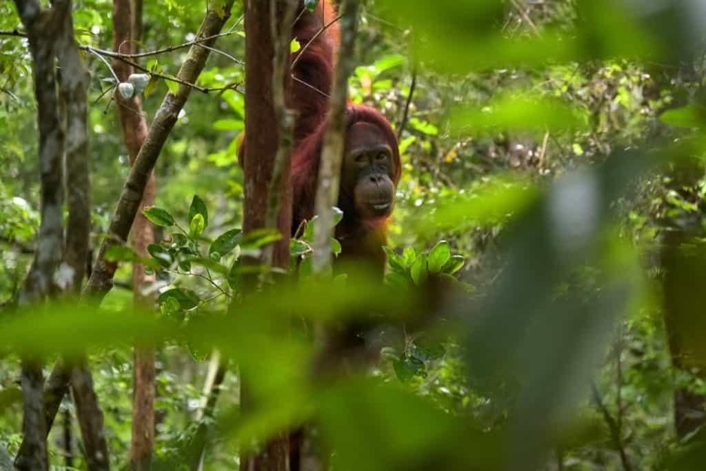 Imagen Orangutanes En Borneo Jorge Franganillo We 21Mvahjy Unsplash 1