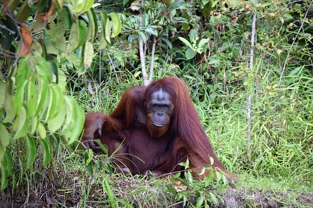 Imagen Orangutanes En Borneo Orang Utan 3712512 640 1
