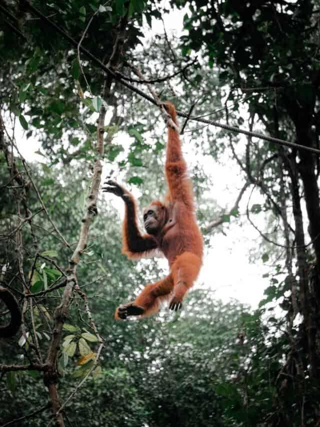 Imagen Orangutanes En Borneo Pexels Pat Whelen 4542636 1