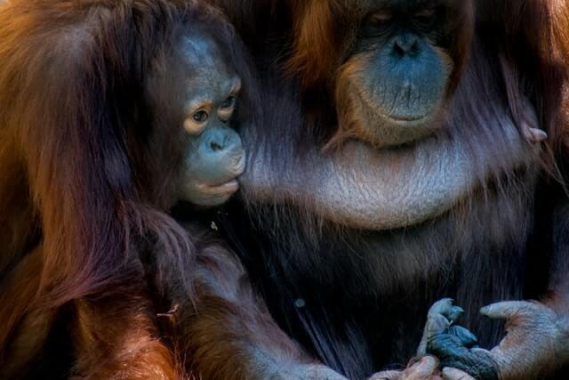 Imagen Orangutanes En Borneo Khamkhor Nhdlhqpugkk Unsplash 1
