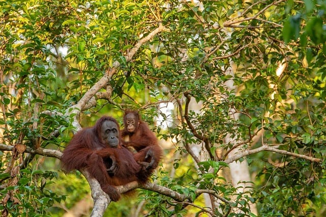 Imagen Orangutanes En Borneo Orangutan 3985939 640 1