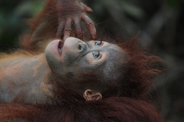 Imagen Orangutanes En Borneo Wildlife 3085394 640 1