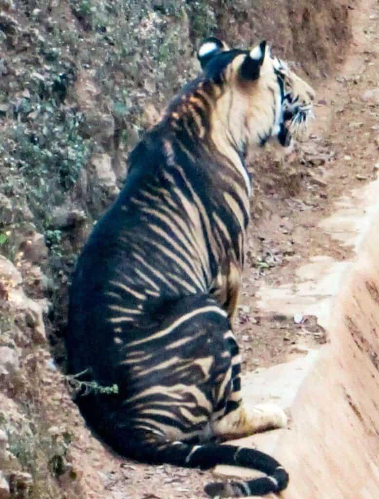 tigre negro