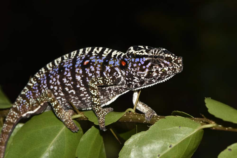 Científicos encontraron una especie de camaleón que no se veía desde hace 100 años