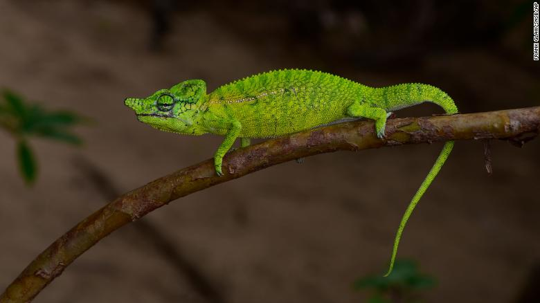 Científicos encontraron una especie de camaleón que no se veía desde hace 100 añosv