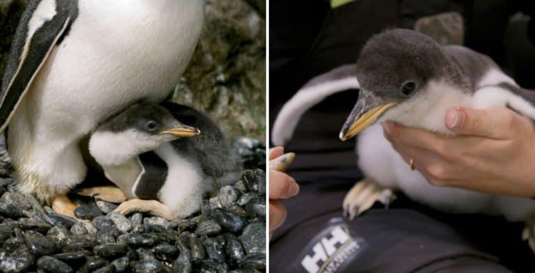 Australia: esta pareja de pingüinos machos le dio la bienvenida a su segunda cría