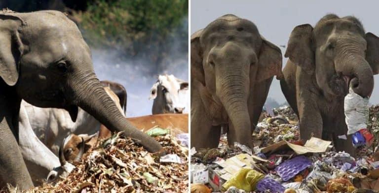 En Sri Lanka cavarán fosas alrededor de los basurales para intentar alejar a los elefantes