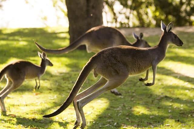 24 horas en Perth kangaroo 1409660 640 1
