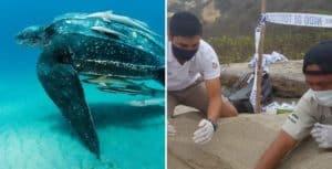 Ecuador: encuentran un nido de una especie de tortugas marinas que está en peligro de extinción