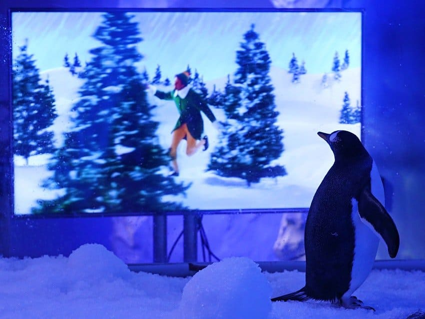 Londres: pingüinos del acuario Sea Life hicieron maratón de películas navideñas mientras esperaban a que termine el segundo confinamiento
