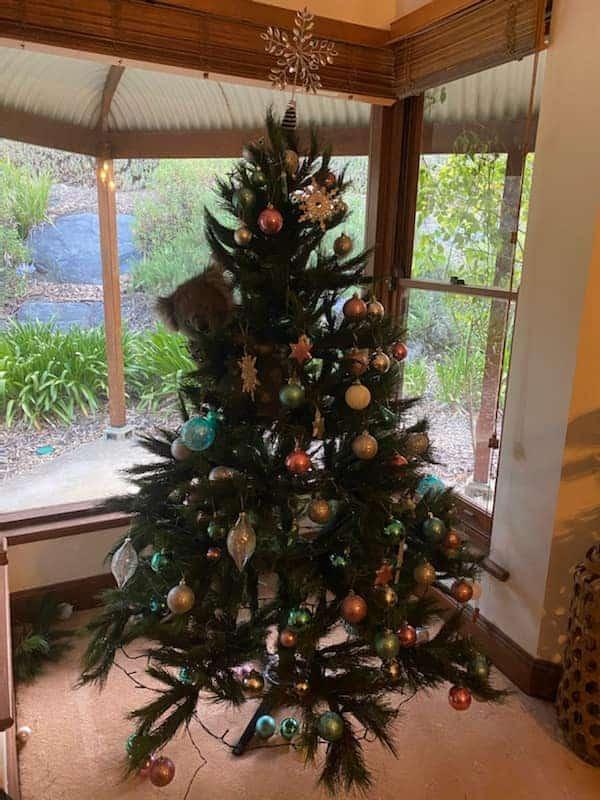 Australia: una familia encontró a una koala en su árbol de navidad