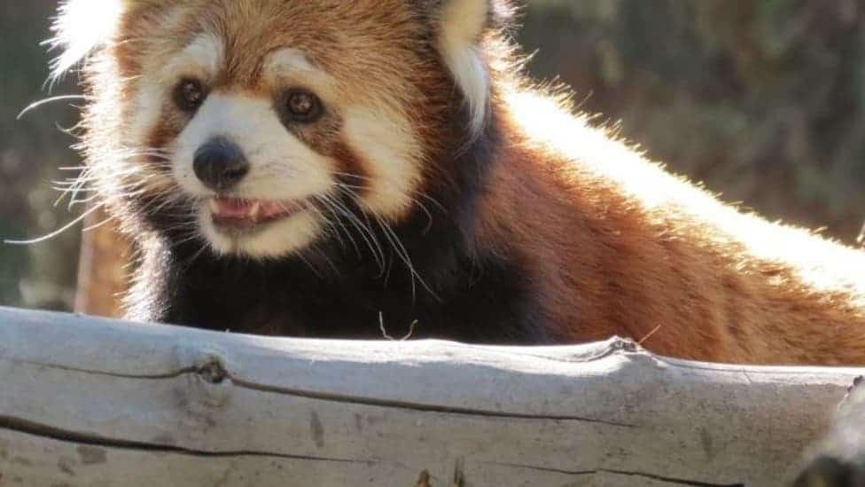 imagen zoológico chileno pandas rojos 3