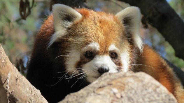 Un zoológico chileno recibe dos pandas rojos para desarrollar un proyecto de conservación de la especie