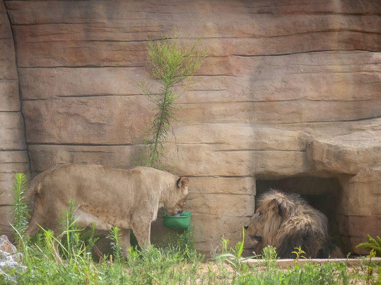 España: 4 leones del zoológico de Barcelona dieron positivo de coronavirus