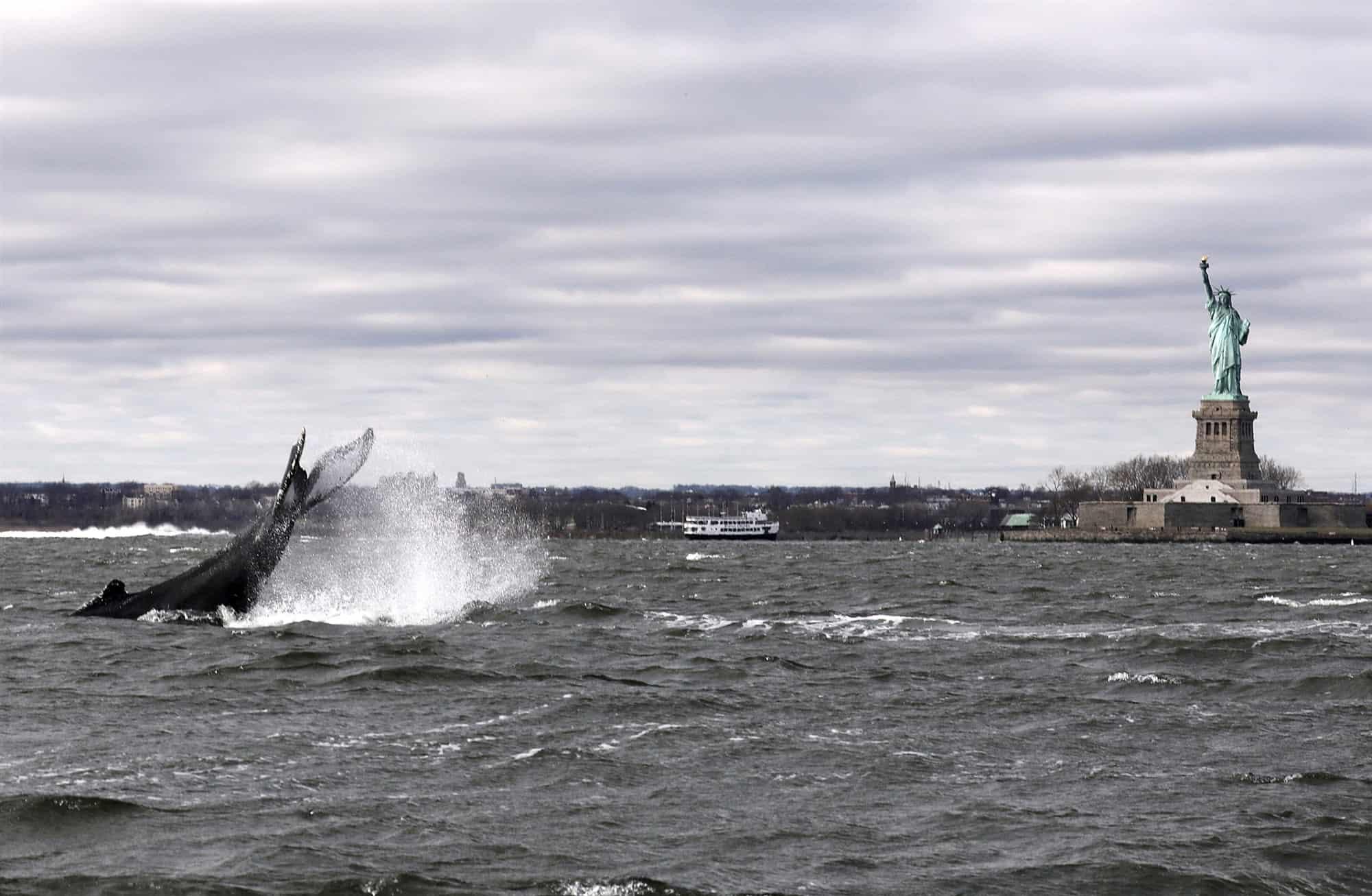 Estados Unidos: una ballena jorobada fue vista nadando cerca de la Estatua de la Libertad, en Nueva York