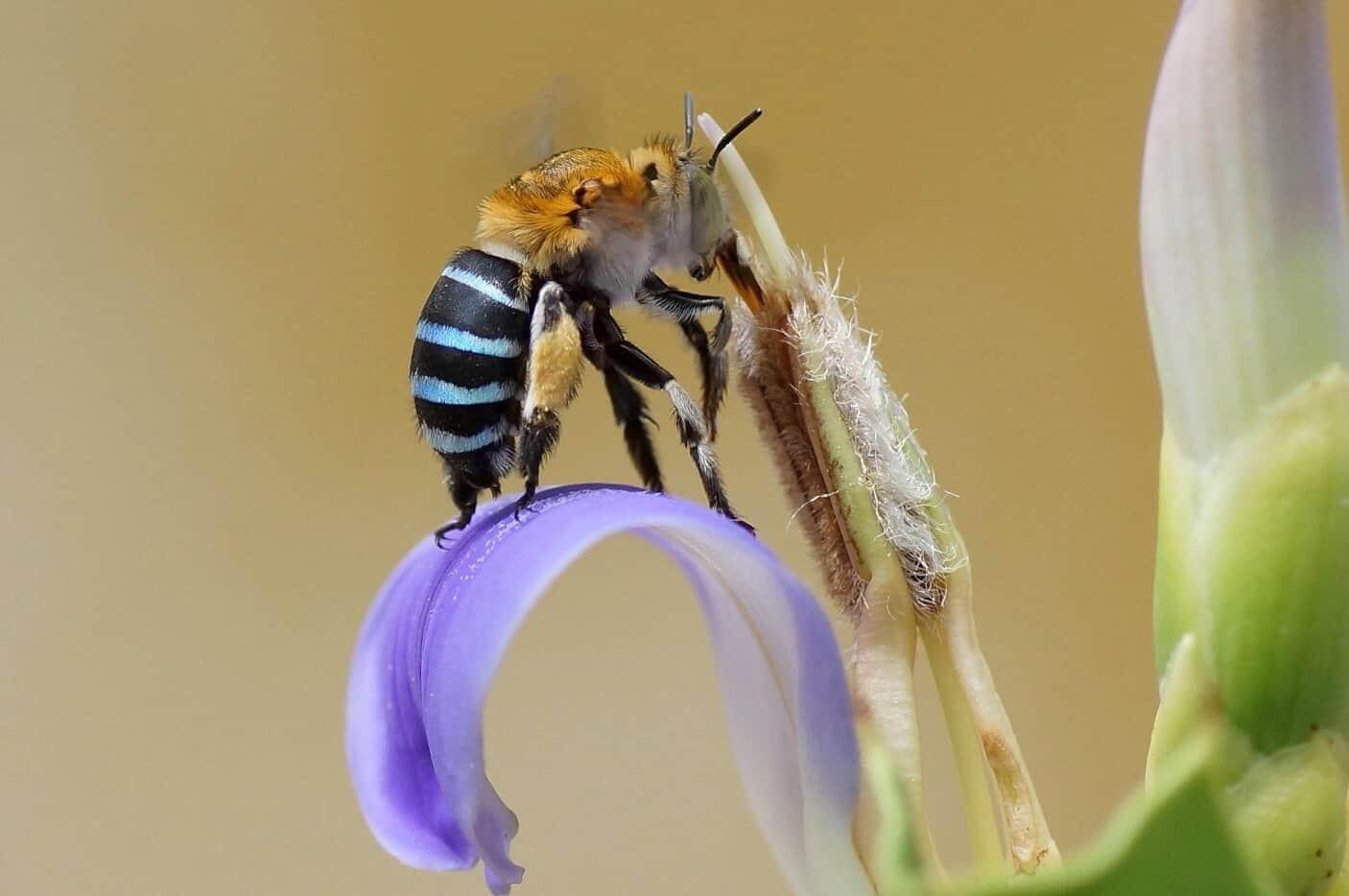 abejas azules