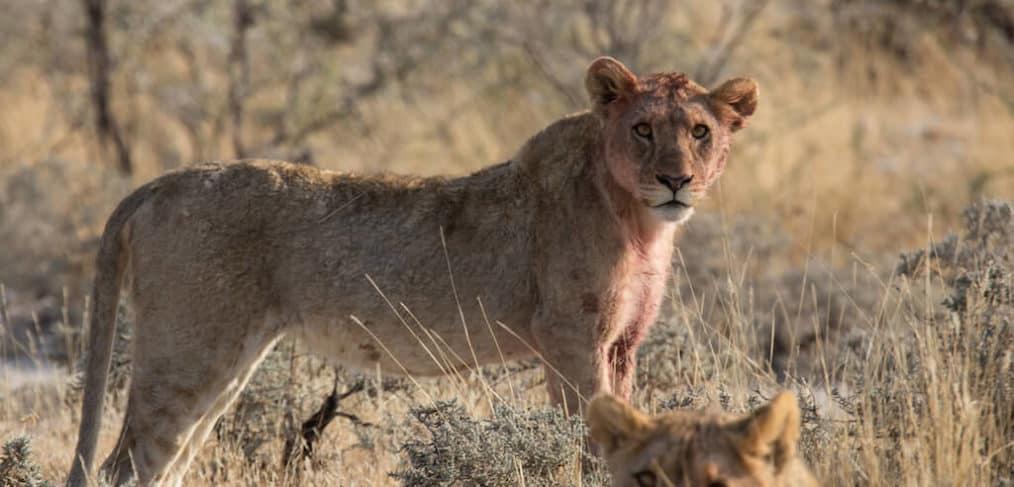 Esta compañía de safari ofrece créditos para viajar a personas que donen a organizaciones de conservación
