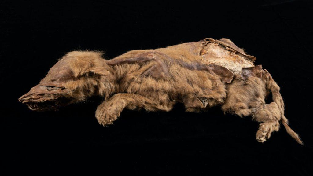 lobo momificado