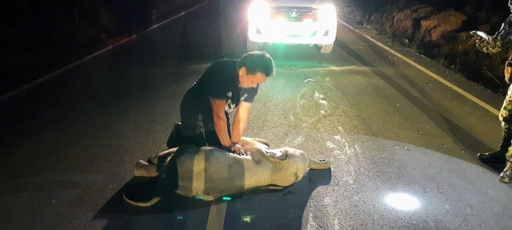 Un hombre le hizo RCP a un elefante bebé que había sido atropellado por una motocicleta y lo salvó