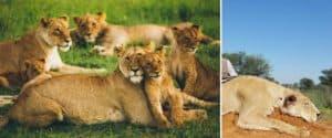 Un estudio reveló que los cazadores de trofeos han matado un animal cada tres minutos durante la última década