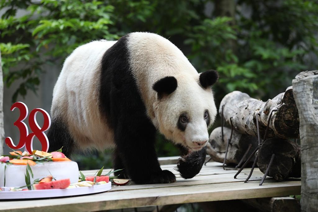 Falleció la panda gigante más longeva del mundo a los 38 años