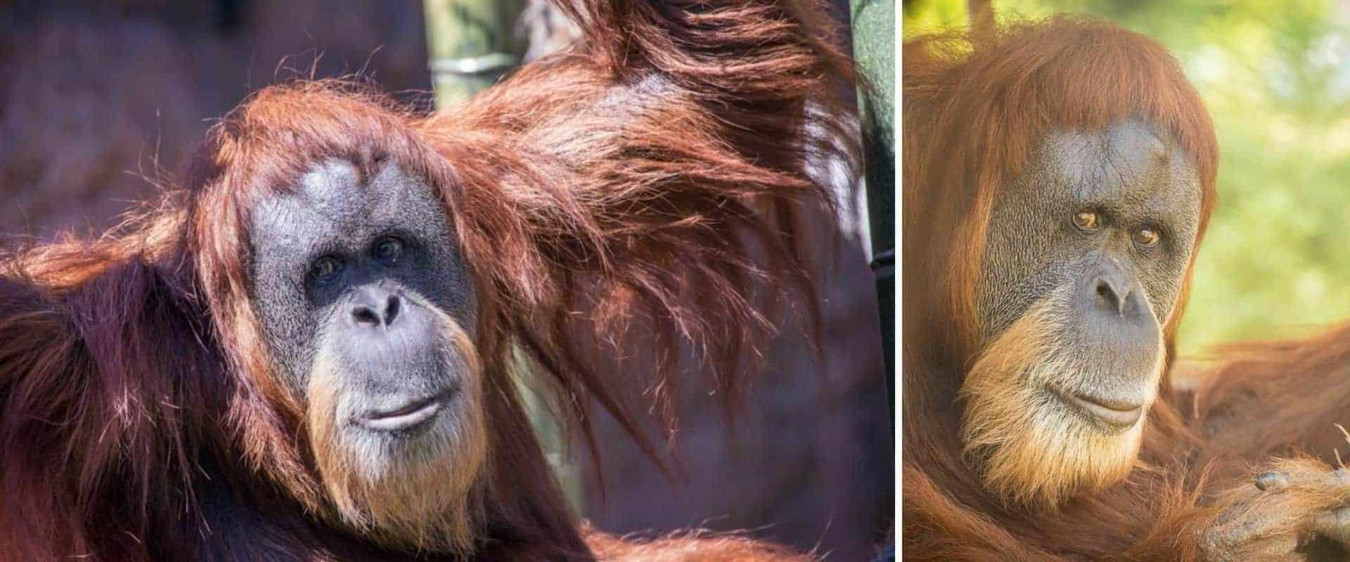 Falleció la orangután más longeva del mundo a los 61 años