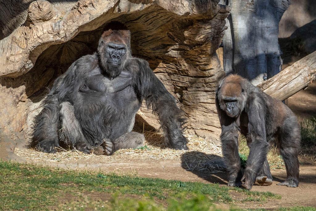 Estados Unidos: gorilas dieron positivo de COVID-19 en un zoológico de San Diego