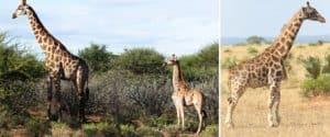 Un grupo de científicos está estudiando a dos jirafas adultas que son más pequeñas que las que conocemos