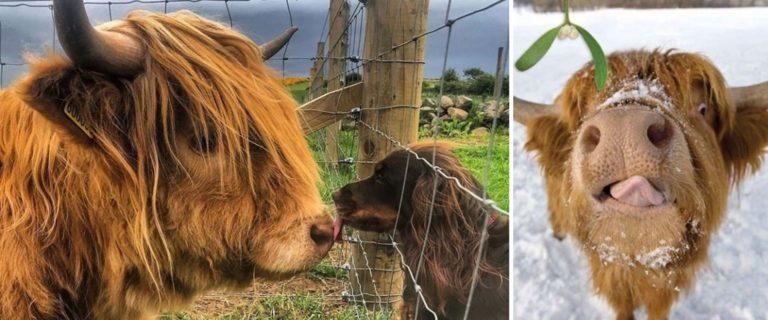 Estas imágenes de las vacas de las Tierras Altas de Escocia pueden ayudar a mejorar tu día