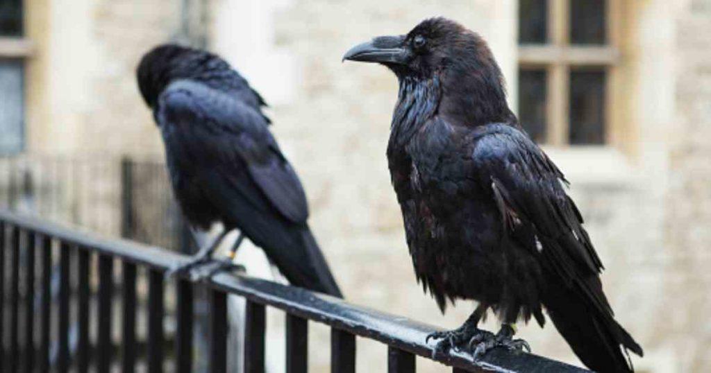 Insólito: Preocupa la desaparición de un cuervo de la Torre de Londres por una leyenda que anticipa un futuro negro para el Reino Unido