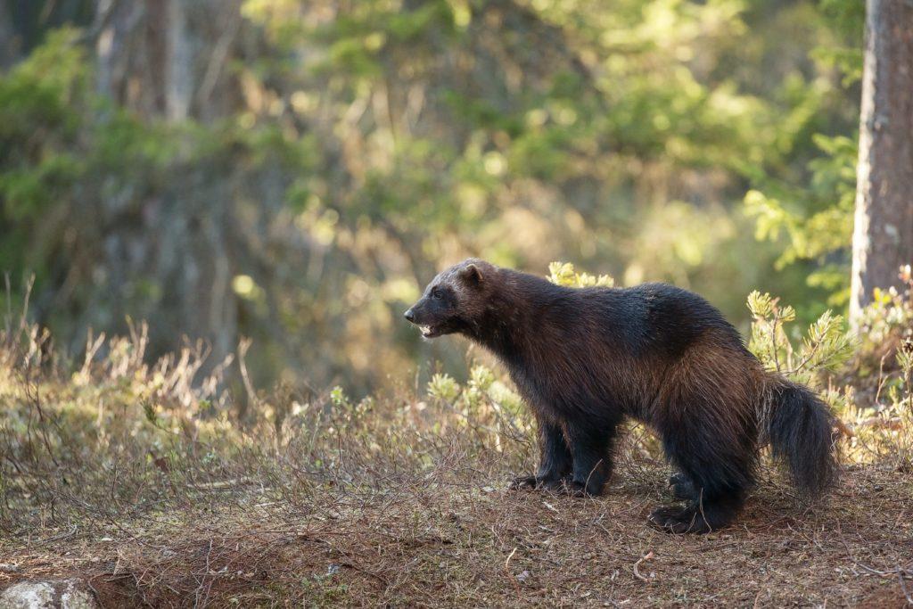 Estados Unidos: un carcayú fue captado por una cámara remota del Parque Nacional Yellowstone por primera vez