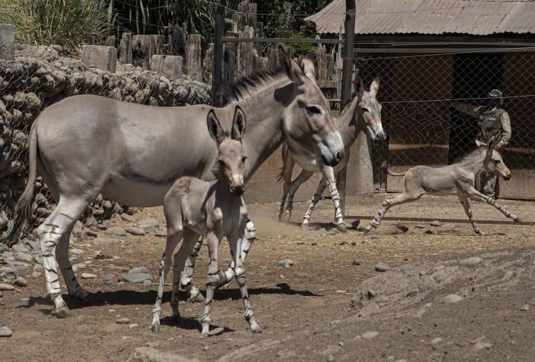 Un zoológico chileno celebra el nacimiento de dos crías de asno de Somalia, una especie de la que no quedan más 200 en el mundo