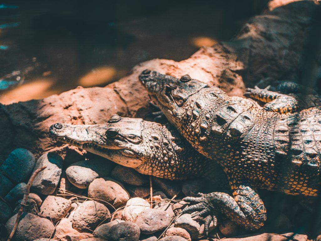 Australia: un hombre logró escapar del ataque de un cocodrilo forzándolo a abrir su mandíbula