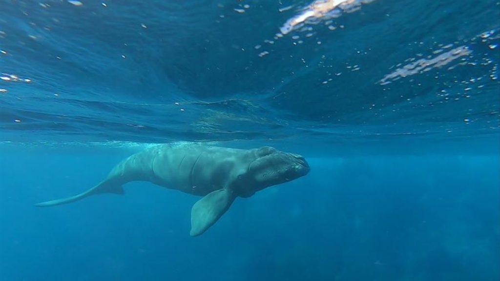Distinguen a la isla de Tenerife como el primer Lugar Patrimonio de Ballenas en Europa