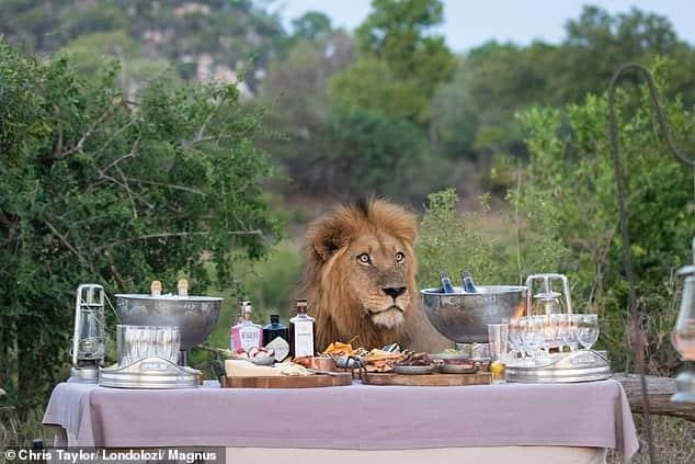 Un león sorprende a grupo de turistas en un safari en el Parque Nacional Krueger mientras se acerca a su picnic para ver la comida