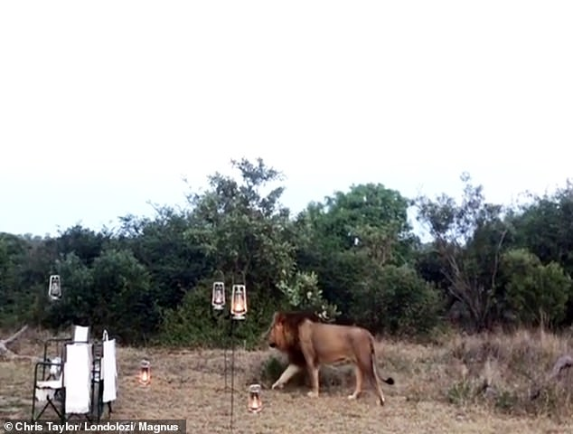 Imagen Safari En El Parque Nacional Kruger Leon Safari Parque Nacional Krueger