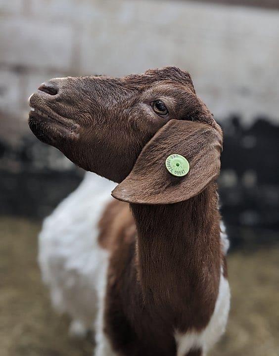 Esta granja de Inglaterra ganó alrededor de 50.000 libras ofreciendo videollamadas con sus cabras