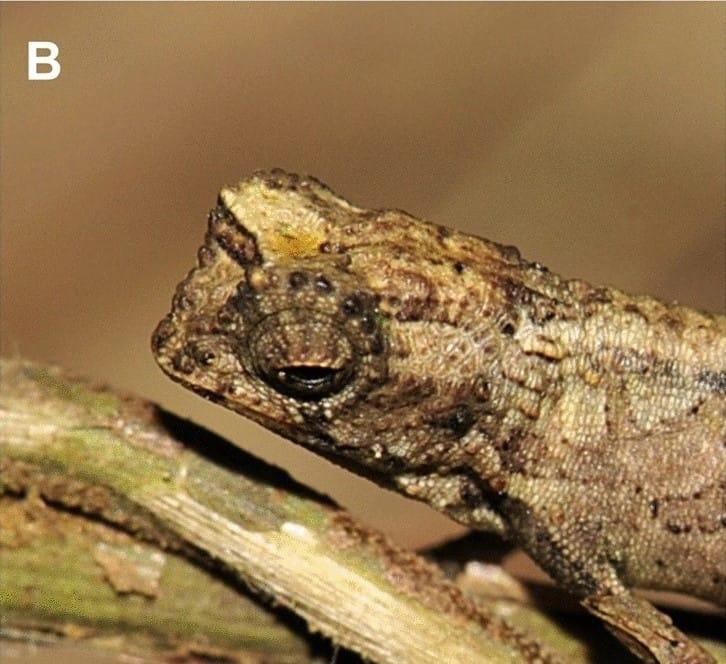 Descubrieron un nuevo camaleón en Madagascar y sería el reptil más pequeño del mundo