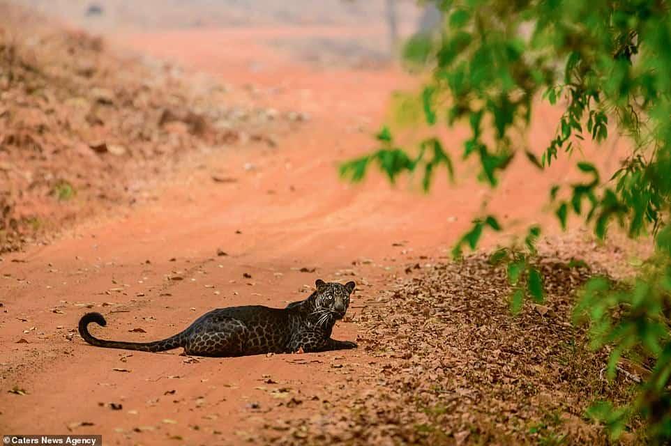 Logaron fotografiar a un impresionante leopardo negro en India