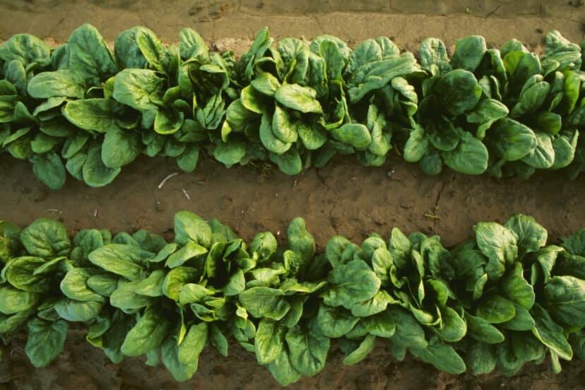 Científicos logran comunicarse con plantas de espinaca enseñándoles a enviar emails