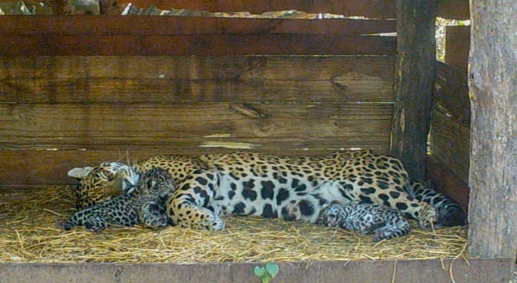 Argentina: Nacieron dos cachorros de yaguareté, fruto de la unión de Qaramta y Tania, y traen esperanzas para la recuperación de la especie en el Chaco