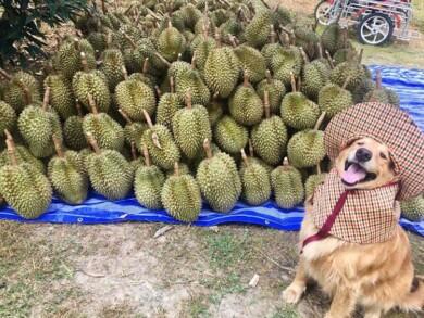 Registran un feliz golden retriever amando su trabajo como recolector de frutas durian y las fotos son encantadoras 4